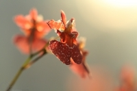 orchidej2_g