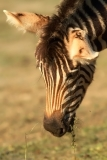 zebra_chapmannova3_g