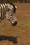 zebra_chapmannova_g