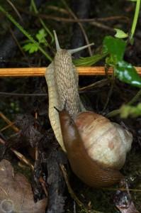 Hlemížď zahradní (Helix pomatia) a plzák španělský (Arion lusitanicus)