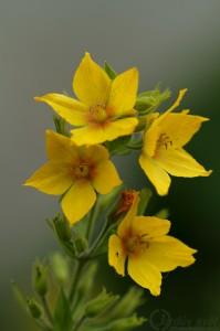 Vrbina tečkovaná (Lysimachia punctata)